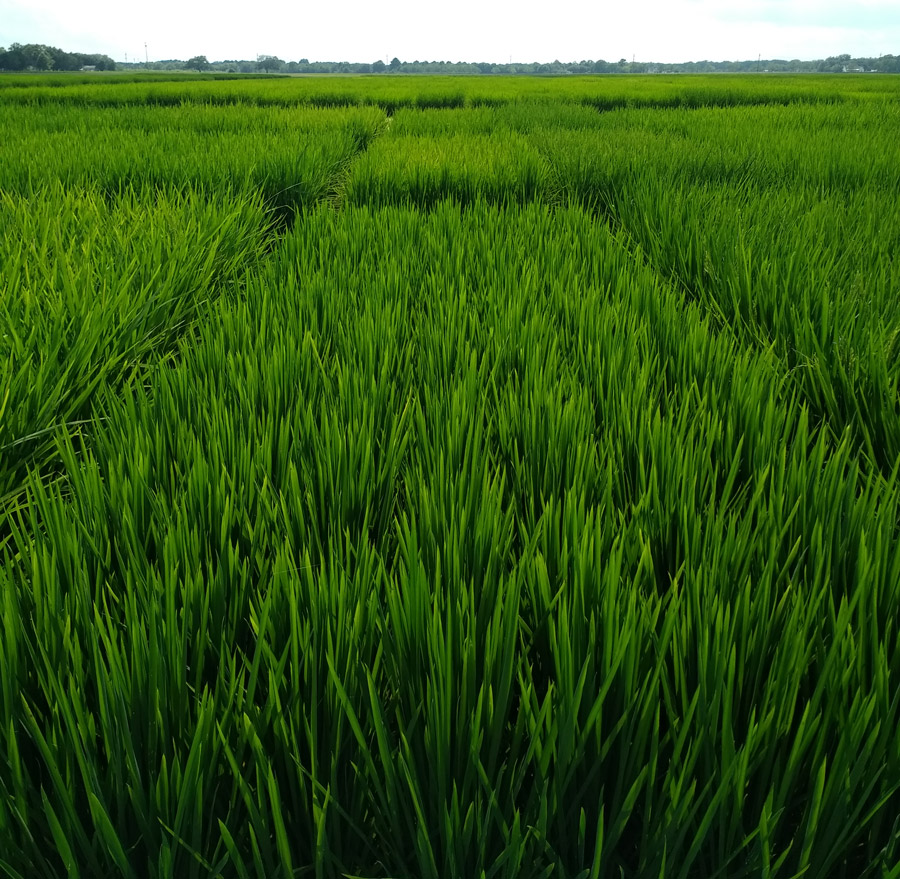The Art and Science of Rice Breeding